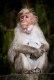 Adult female monkey looking around Royalty Free Stock Photos