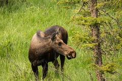 Adult Female Moose in Colorado Royalty Free Stock Photo