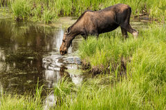 Adult Female Moose Drinking from Pond in Colorado. Female Moose in the tall grass in Colorado Royalty Free Stock Images
