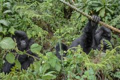 Adult female mountain gorilla holding a branch while an adolescent gorilla looks on royalty free stock images