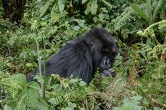 Adult female mountain gorilla kisses a baby`s foot royalty free stock images