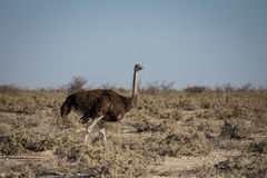 Adult female ostrich Royalty Free Stock Images
