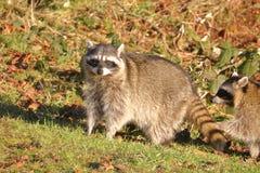 Adult Female Raccoon Stock Photo