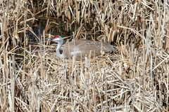 Sandhill crane sitting on a nest in the swamp grass royalty free stock image