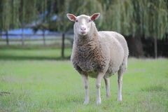Adult Female Sheep or Ewe. An image of an adult female Sheep known as an Ewe stock photos