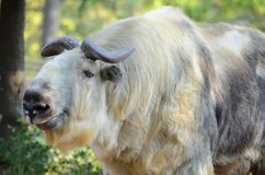 Adult female takin Stock Photo