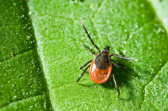 Adult female tick - Ixodes ricinus Stock Image