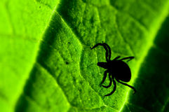 Adult female tick - Ixodes ricinus Royalty Free Stock Images