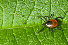 Adult female tick - Ixodes ricinus Royalty Free Stock Image