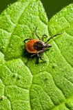 Adult female tick - Ixodes ricinus Stock Images