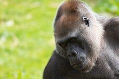Romina, an adult Western Lowland Gorilla feeding at Bristol Zoo, UK. stock image