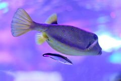 Female yellow boxfish accompanied by a cleaner wrasse royalty free stock image