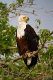 Adult fish eagle Stock Photo