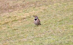 Adult flicker in grass. Full frontal view of an adult Flicker hunting for insects in the grass Royalty Free Stock Image