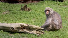 An adult Formosan rock macaque. Macaca cyclopis is sitting on the green ground stock photo