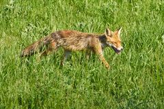 Adult fox in the grass. An adult fox in the grass in a sunny summer day Royalty Free Stock Photo