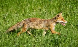 Adult fox in the grass. An adult fox in the grass in a sunny summer day Stock Photos