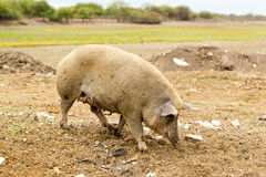 Adult Free Range Sow Digging In The Dirt Royalty Free Stock Photography