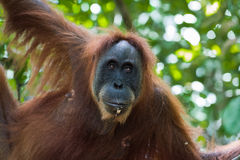 Adult furry orangutan hanging from a tree and eats (Bohorok, Ind Royalty Free Stock Images