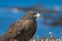 Adult Galapagos Hawk. An imposing adult galapagos hawk Royalty Free Stock Photos