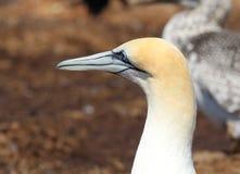 Adult Gannet bird head. On the nesting site Stock Photography