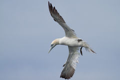 Adult gannet flying. Above the sea with a blue sky Stock Photos