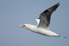 Adult gannet flying. Above the sea with a blue sky Stock Photo