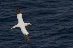 Gannet in flight Royalty Free Stock Photo