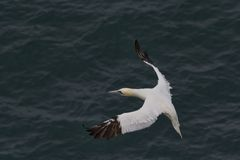 Gannet slowing in flight. Adult gannet slowing down in flight over sea on approach to landing at nesting site Royalty Free Stock Photography
