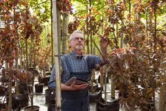Adult gardener inspects the plants in the garden shop. In the glasses with a beard stock photos