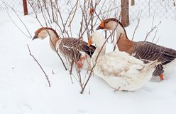 Adult geese in day snow royalty free stock photography