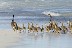 Geese Family Walking at the Beach Stock Photos