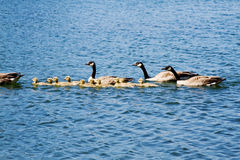 Adult geese and goslings. Swimming on lake Royalty Free Stock Image