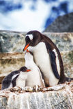 Adult Gentoo and chicks Antarctica Stock Image