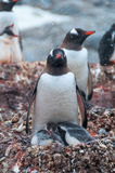 Adult Gentoo and chicks Antarctica Stock Photo