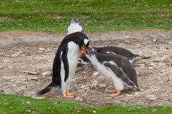 Adult Gentoo penguin with chick Royalty Free Stock Photo