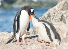Adult gentoo penguin feeding chick. Royalty Free Stock Image