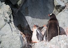 Gentoo Penguin with Hungry Chicks Royalty Free Stock Images