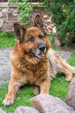 Adult German shepherd Stock Images