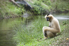 Adult Gibbon Stock Photography