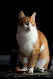 Adult ginger cat. Is waiting in patience for his owner to came home Stock Photography