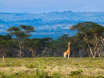 Adult giraffe eating leaves on a tree. Against the background of Savannah Stock Photos