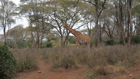 An adult giraffe eats and stands at the acacias in the arid African savannah. stock video