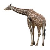 Adult Giraffe Isolated on White Stock Photography