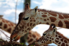 Adult giraffe and little giraffe. Eating Royalty Free Stock Images