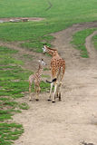 Adult giraffe walking with a young one Stock Images