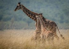 An adult giraffe watches over two young calves in a giraffe nursery in the savannah royalty free stock photography