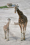Adult giraffe and a young one in a Zoo. Walking adult giraffe and a young one in a Zoo Royalty Free Stock Photo