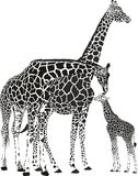 Adult giraffes and baby giraffe Royalty Free Stock Images