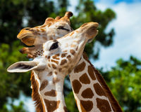 Adult giraffes grooming Royalty Free Stock Photos